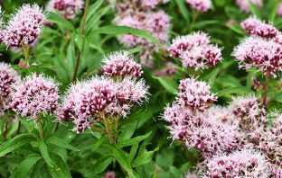 beneficios valeriana